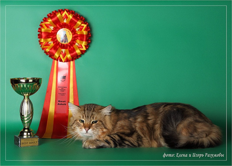 Капитон - лучший кот монопородного ринга