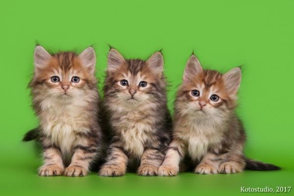 Все котята помета Ф