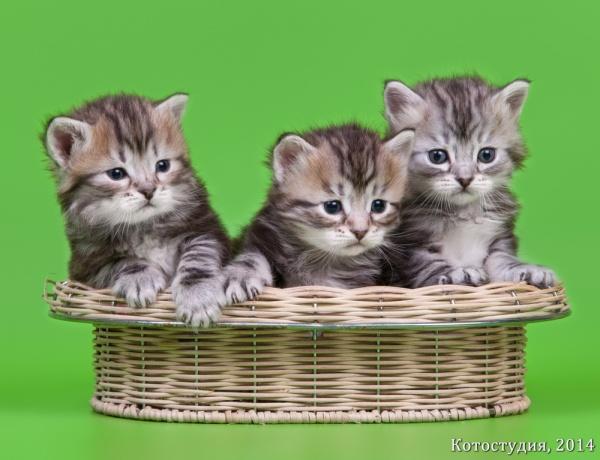 "Три котенка из помета ""И"""