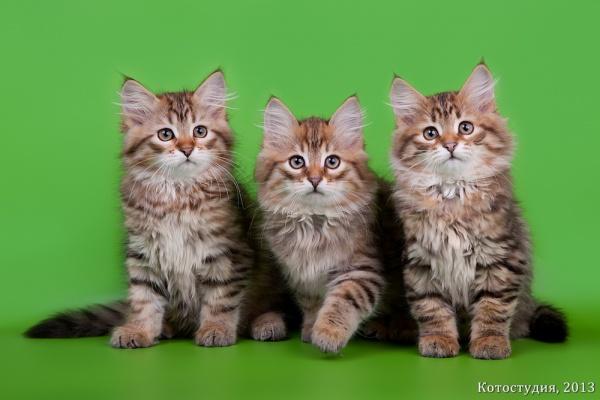 Котята С, общее фото